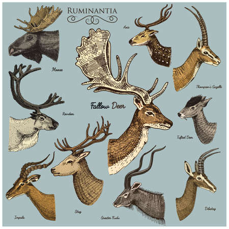 Big set of Horn, antlers Animals moose or elk with impala, gazelle and greater kudu, fallow deer reindeer and stag, doe or roe deer, axis and dibatag hand drawn, engraved Stock Vector - 77271199