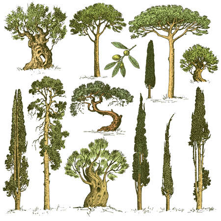 big set of engraved, hand drawn trees include pine, olive and cypress, fir tree forest isolated object Фото со стока - 77494905