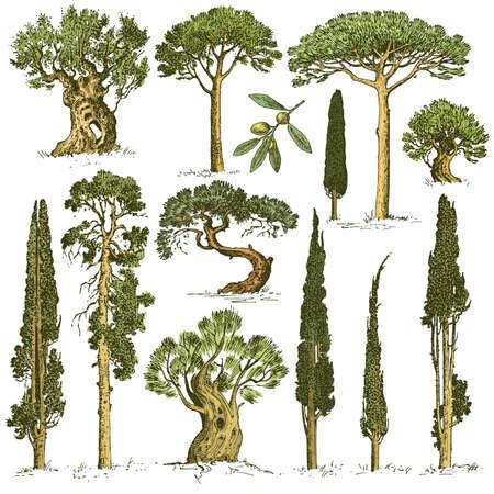 grande insieme di alberi incisi disegnati a mano includono pino, ulivo e cipresso, oggetto isolato foresta di abeti Vettoriali