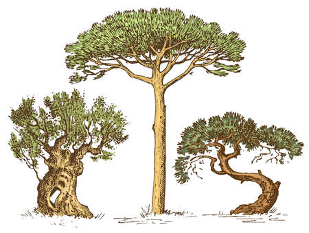 cypress: set of hand drawn trees italian cypress and stone pine , pinea, olive isolated vector illustration, engraved symbols of south, evergreen