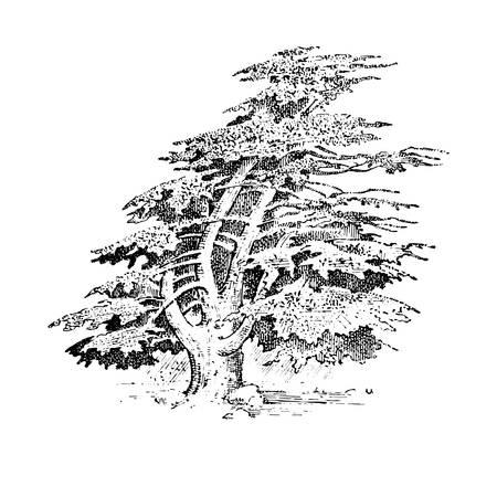 Conjunto de árboles dibujados a mano ciprés italiano y pino de piedra, pinea, oliva aislado ilustración vectorial, símbolos grabados del sur, árbol de hoja perenne