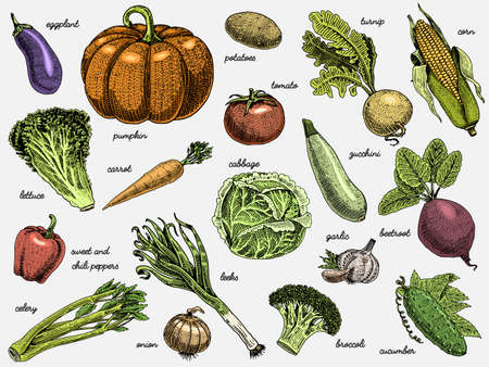 set of hand drawn, engraved vegetables, vegetarian food, plants, vintage looking pumpkin, cabage and tomato, lettuce with carrot, corn and others 版權商用圖片 - 79111655