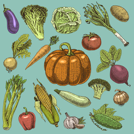 set of hand drawn, engraved vegetables, vegetarian food, plants, vintage looking pumpkin, cabage and tomato, lettuce with carrot, corn and others