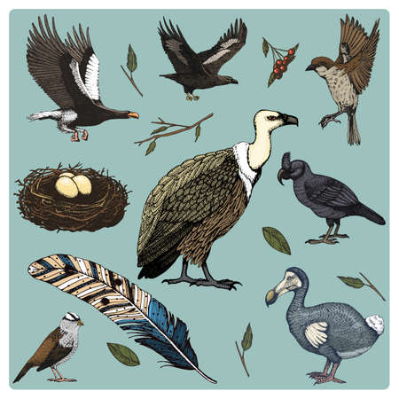 hand drawn vector realistic bird, sketch graphic style, set of domestic. griffon vultures and broad-billed parrot. rhinoceros hornbill and extinct species. moa, dodo and feather. Nest with eggs Illustration