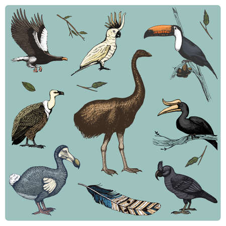 dodo: hand drawn vector realistic bird, sketch graphic style, set of domestic. griffon vultures and broad-billed parrot. rhinoceros hornbill and extinct species. moa, dodo and feather. Nest with eggs Illustration