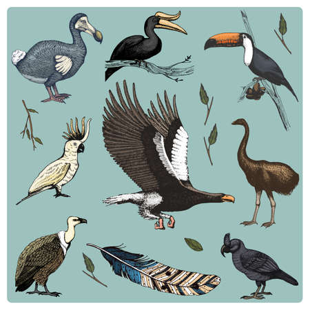 hand drawn vector realistic bird, sketch graphic style, set of domestic. griffon vultures, cockatoo and broad-billed parrot. rhinoceros hornbill and extinct species. moa, dodo and feather