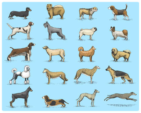 borzoi: dog breeds engraved, hand drawn vector illustration in woodcut scratchboard style, vintage drawing species. pug and setter, poodle with spitz, springer spaniel whippet hound doberman, shepherd.