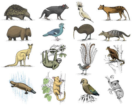 big set of australian and new zealand symbols, animal engraved, hand drawn vector , vintage drawing tasmanian wolf, kea parrot, possum, duck billed platypus, devil, numbat. wombat, koala, kiwi bird.