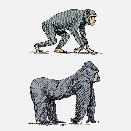 Western or mountain gorilla and chimpanzee hand drawn, engraved wild animals in vintage or retro style, zoology African set. Illustration