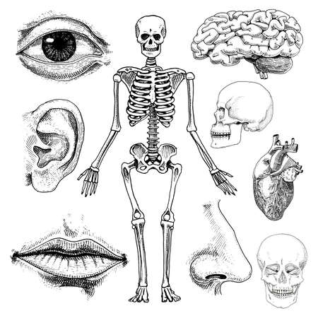 Human biology, anatomy illustration. engraved hand drawn in old sketch and vintage style. skull or skeleton silhouette. Bones of the body. lips and ear with nose. brain and heart. Vectores