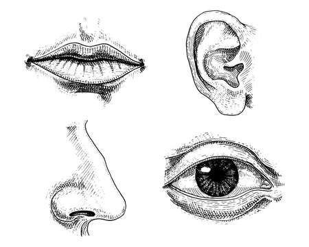 Biología humana, ilustración de la anatomía de órganos. Mano grabada dibujada en viejo bosquejo y estilo de la vendimia. Beso o labios detallados de la cara y oído, ojo o visión, mirada con la nariz. Foto de archivo - 83216321