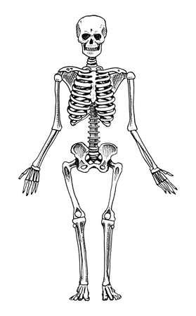 Skelett Menschliche Anatomie Schädel Knochen Medizinische ...