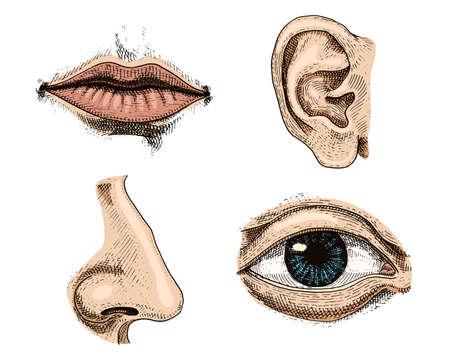 Illustrazione di anatomia di organi. Labbra, naso, orecchie e occhi disegnati a mano in vecchio schizzo e stile vintage.