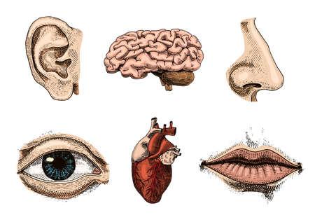 Menselijke biologie, organen anatomie illustratie. gegraveerde hand getekend in oude schets en vintage stijl. geconfronteerd met gedetailleerde kus of lippen en oor, ogen of uitzicht, kijk met de neus. Stock Illustratie