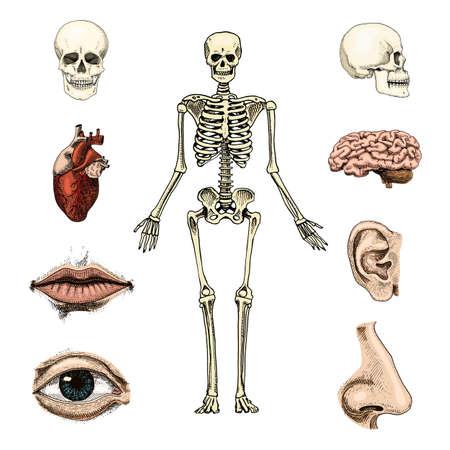 Menselijke biologie, anatomie illustratie. Schedel, skelet, lippen, oor, neus, hersenen en hart hand getekend in oude schets en vintage stijl. Stock Illustratie