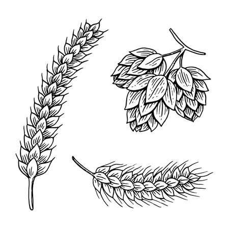 Gerste und Weizen, Malz und Hopfen. Bier vom Oktoberfest. graviert in der Tintenhand gezeichnet in alte Skizze und in der Weinleseart für Netz oder Kneipenmenü. Gestaltungselement isoliert auf weißem Hintergrund.