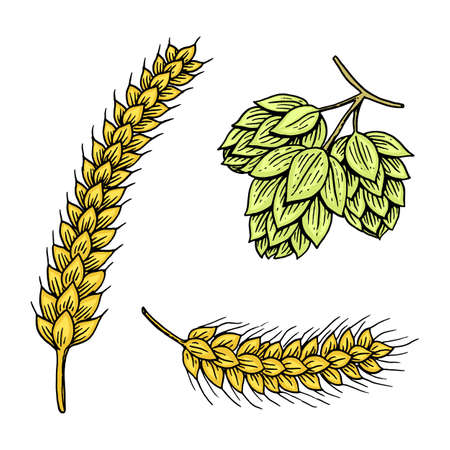 Barley and wheat, malt and hops. Beer of Oktoberfest.