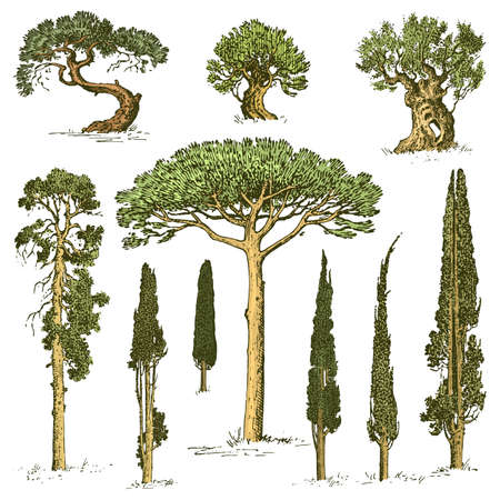 Big set of engraved, hand drawn tree include pine, olive and cypress, fir forest isolated object