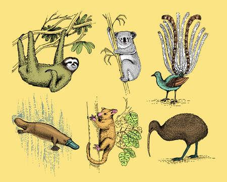 big set of australian and new zealand symbols, animal engraved, hand drawn vector , vintage drawing tasmanian wolf, kea parrot, possum, duck billed platypus, devil, numbat. wombat, koala, kiwi bird