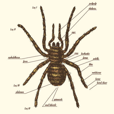 Illustration of a spider anatomy include all name of animal parts. Bird eater species in hand drawn or engraved style.