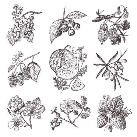 Set berries. raspberry, blueberry, sea buckthorn, red currants, strawberry, gooseberry, watermelon, cloudberry, dog rose blueberry raspberry engraved hand drawn in old sketch vintage style