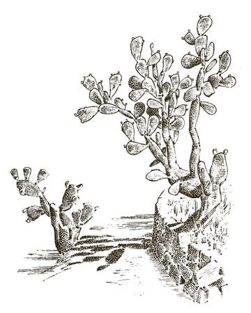 Prickly Pear Cactus. plants engraved hand drawn in old sketch, vintage style. mexican opuntia, flora and fauna. botanical garden.