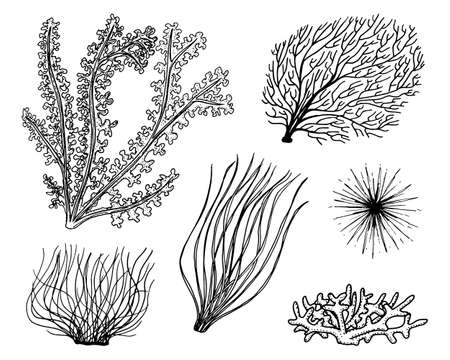 marine plants seaweed. vegetable life and food for fish. engraved hand drawn in old sketch, vintage style. nautical or sea greens, monster or fish. animals in the ocean. Çizim