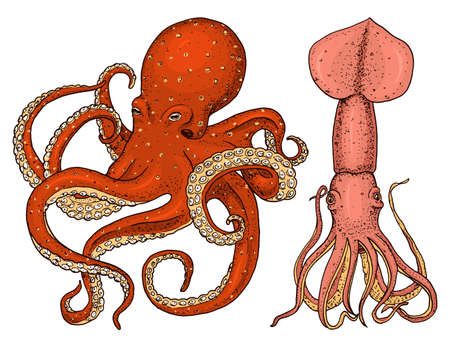 sea creature octopus and squid. calamari engraved hand drawn in old sketch, vintage style. Illustration