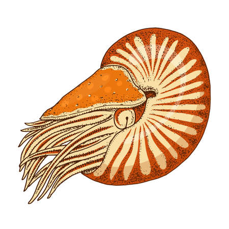 sea creature nautilus pompilius. shellfish or mollusk or clam. engraved hand drawn in old sketch, vintage style. nautical or marine, monster or food. animals in the ocean.