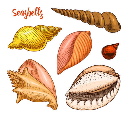 seashells set or mollusca different forms. sea creature. engraved hand drawn in old sketch, vintage style.