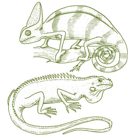 Chameleon Lizard, American green iguana, reptiles or snakes. herbivorous species. vector illustration for book or pet store, zoo. engraved hand drawn in old sketch.