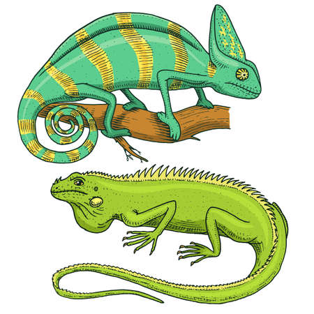 Chameleon Lizard and green iguana hand drawn in old sketch