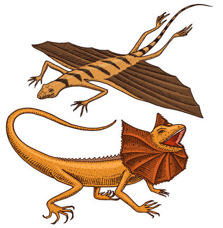 frilled-necked lizard, flying dragon or agama in Australia. wild animals in nature. vector illustration for book or pet store, zoo. engraved hand drawn.