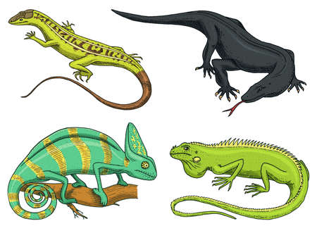 Chameleon Lizard, American green iguana, reptiles or  Komodo dragon monitor. herbivorous species. vector illustration for book or pet store, zoo.  hand drawn on white background.