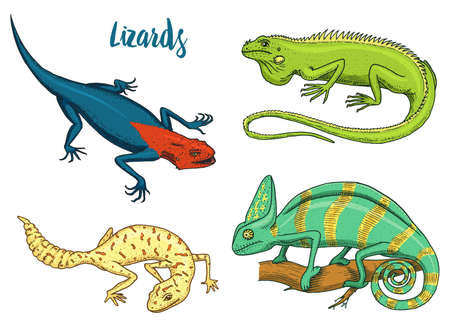 Chameleon Lizard, American green iguana, reptiles  or spotted fat-tailed gecko. herbivorous species. vector illustration for book or pet store, zoo. 일러스트