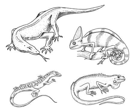 Chameleon Lizard, American green iguana, reptiles or snakes or Komodo dragon monitor. herbivorous species. vector illustration for book or pet store, zoo. engraved hand drawn in old sketch. Illustration