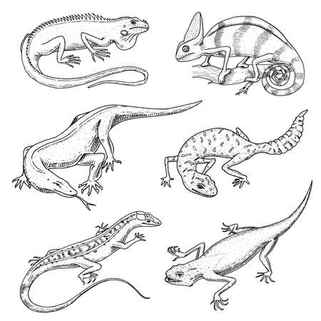 Chameleon Lizard, green iguana, Komodo dragon monitor, American Sand, exotic reptiles or snakes, spotted fat-tailed gecko. wild animals lacertian in nature. vector illustration. engraved hand drawn.