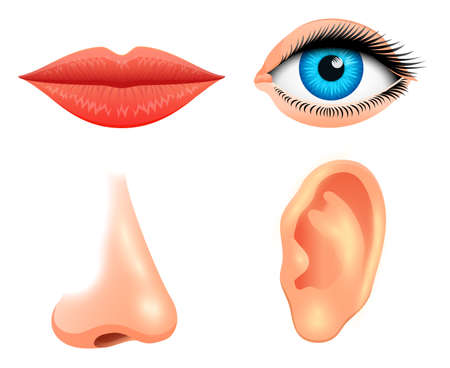 Human biology, sensory organs, anatomy illustration. face detailed lips, nose and ear, eye or view. Set medical science or healthy man. Vision, hearing, taste, smell, touch, look europeoid Çizim