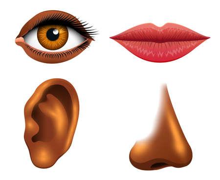 Human sensory organs illustration.
