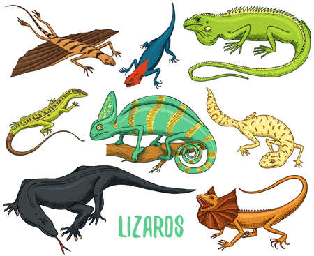 Chameleon Lizard, green iguana, Komodo dragon monitor, American Sand, exotic reptiles or snakes, spotted fat-tailed gecko.