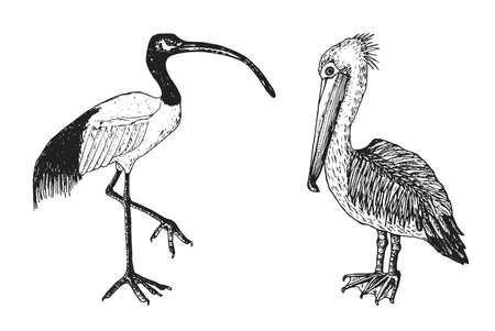 Pelican and African sacred ibis.