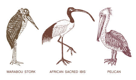 Pelican and African sacred ibis and storks.