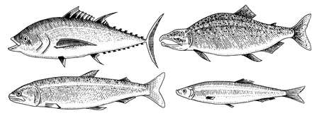 River and lake fish. Salmon and rainbow trout, tuna and herring, seawater and freshwater carp. freshwater aquarium. Seafood for the menu Engraved hand drawn in old vintage sketch. Vector illustration