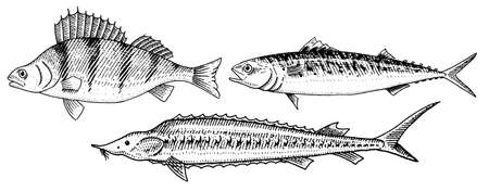 River and lake fish. Perch or bass, Scomber or mackerel, beluga and sturgeon. Sea creatures. Freshwater aquarium. Seafood for the menu. Engraved hand drawn in old vintage sketch. Vector illustration Illustration