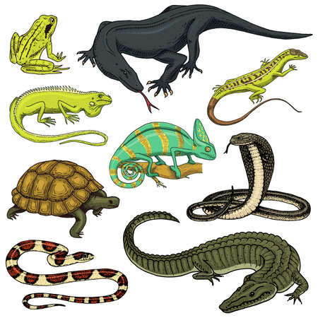 Set of reptiles and amphibians. Wild Crocodile, alligator and snakes, monitor lizard, chameleon and turtle. Pet and tropical animal. Engraved hand drawn in old vintage sketch. Vector illustration. Stock Photo