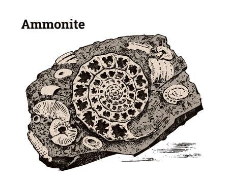 Preserved Ammonite specimen. Fragment fossils, skeleton of prehistoric dead animals in stone. Archeology or paleontology. engraved hand drawn old vintage sketch. Vector illustration. Illustration
