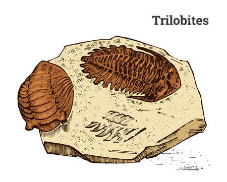Preserved trilobite specimen. Fragment fossil, skeleton of prehistoric dead animal in stone. Archeology or paleontology. engraved hand drawn old vintage sketch. Vector illustration.