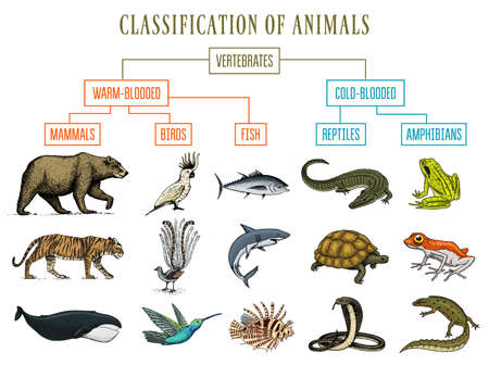 Classification of Animals. Reptiles amphibians mammals birds. Crocodile Fish Bear Tiger Whale Snake Frog. Education diagram of biology. Engraved hand drawn old vintage sketch. Chart of Wild creatures.  イラスト・ベクター素材