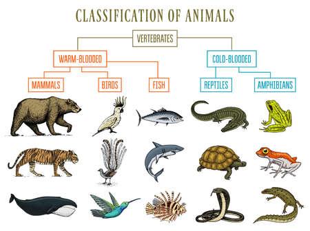 Klassifizierung von Tieren. Reptilien Amphibien Säugetiere Vögel. Krokodil Fischbär Tigerwal Schlangenfrosch. Bildungsdiagramm der Biologie. Gravierte handgezeichnete alte Weinlese-Skizze. Diagramm der wilden Kreaturen.
