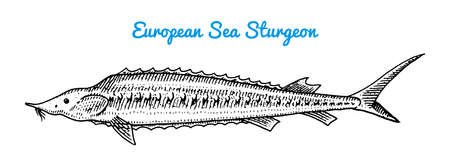 River and lake fish. European sea sturgeon. Sea creatures. Freshwater aquarium. Seafood for the menu. Engraved hand drawn in old vintage sketch. Vector illustration. Symbols of the ocean. Vettoriali